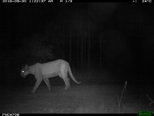 game-cam-photo-female-panther 30978682845 o